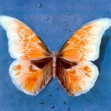 g h rothe butterfly