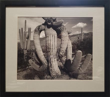 ansel adams cactus